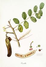 Carob, Fig Tree Leaves And Fru...