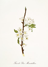 Isolated Single Branch Of White Pear Flower Vertical Oriented On White Background. Old Botanical Illustration Realized With A Detailed Watercolor By Giorgio Gallesio On 1817,1839 Italy