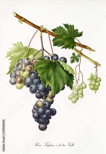 Isolated branch of black grapes, Trifera grapes, vine leaf on white background. Old botanical illustration realized with a detailed watercolor by Giorgio Gallesio on 1817,1839 Italy Fototapete