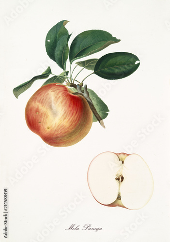 Canvastavla Apple, panaja apple, on a single branch with apple leaves on white background and fruit section
