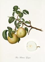 Pear, Called Butirra Pear, On ...
