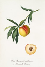 Peach, Called Yellow Spiccagnola Peach, On A Single Branch With Leaves And Isolated Single Peach Section On White Background. Old Botanical Illustration Realized By Giorgio Gallesio On 1817, 1839