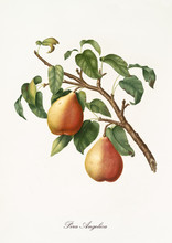 Two Yellow Pears With Little O...