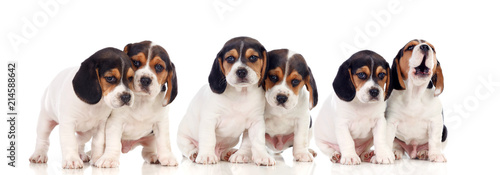 Obraz Six beautiful beagle puppies - fototapety do salonu