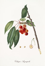 Red Cherries Hanging From Their Branch With Leaves And Section Of The Fruit. Elements Isolated Over White Background. Old Detailed Botanical Illustration By Giorgio Gallesio Published In 1817, 1839