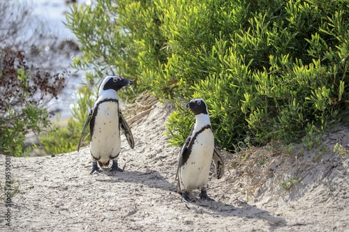 Poster Pinguin South African Penguin