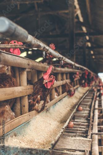 Fotografie, Obraz  Chickens in the cage on chicken farm. Chicken eggs farm.