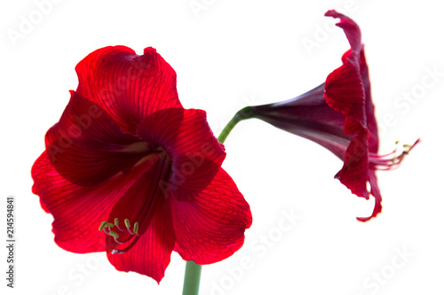 red amaryllis isolated on white background closeup Canvas Print