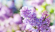 Blossoming Syringa lilac bush. Springtime landscape with bunch of violet flowers. lilacs blooming plants background. soft focus photo