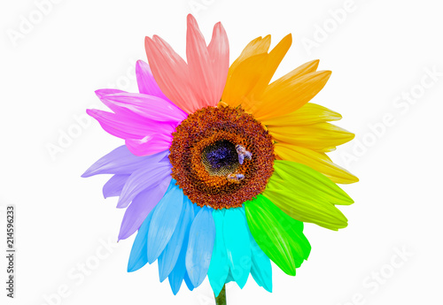 Rainbow sunflower with honey bees isolated on white background