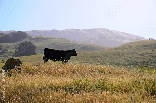 Cows and Landscape of Misson Peak in Spring in California, United States Fototapeta