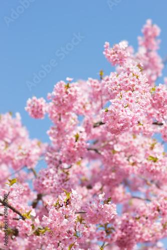 In de dag Candy roze 青空と河津桜