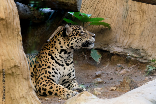Plakat Portret lampart przy zoo w Tajlandia
