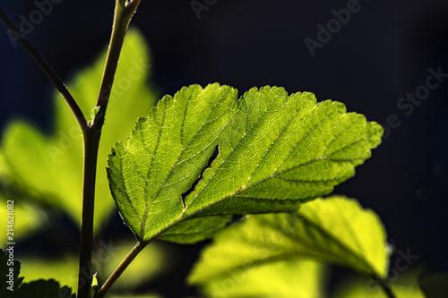 liść w słońcu - fototapety na wymiar