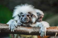 Cotton Top Tamarin With Baby P...