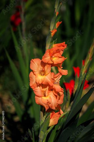Orange Gladiole auf freiem Feld, Gladiolus Amicitia, Detailaufnahme