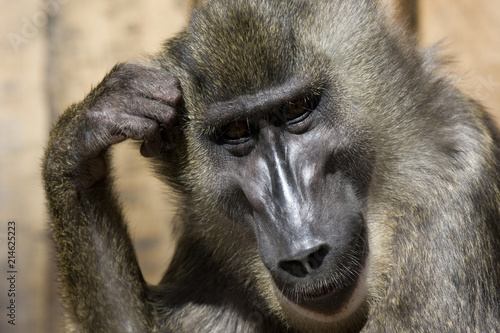 Foto op Plexiglas Aap Affe in nachdenklicher Pose