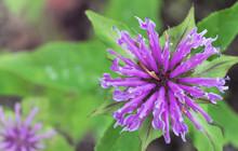 Blooming Monarda. Common Names...