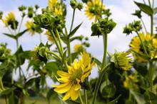 Yellow Native Midwest Prairie ...