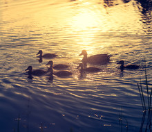 Duck And Ducklings At Sunset