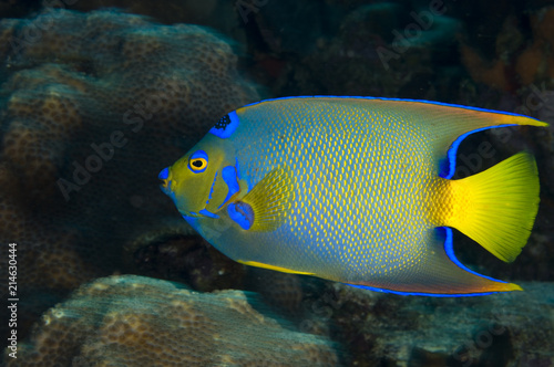 Queen angelfish underwater on coral reef  in the Caribbean Canvas Print
