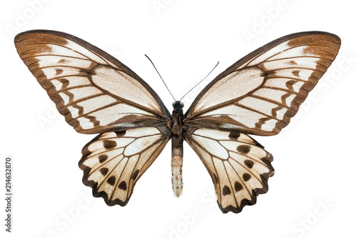 Deurstickers Vlinder butterfly Ornithoptera croesus lydius f