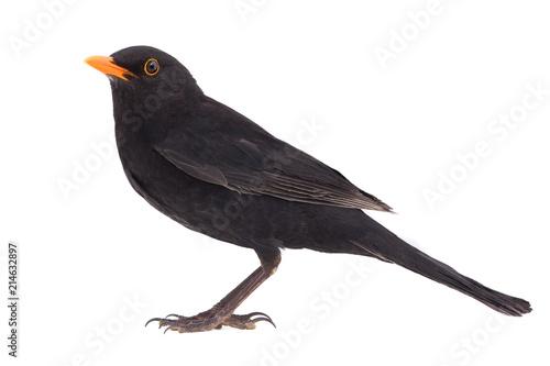 Photo blackbird (Turdus merula)