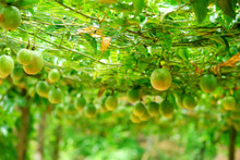 Lots Of Raw And Fresh Passion Fruit On The Tree, Passion Fruit Farm