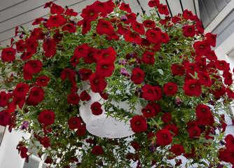 Beautiful dark red Petunia hanging in flower pot.