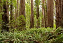 Redwood National Park In Calif...