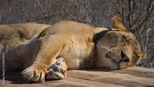 Zdjęcie XXL Lion Sleeping