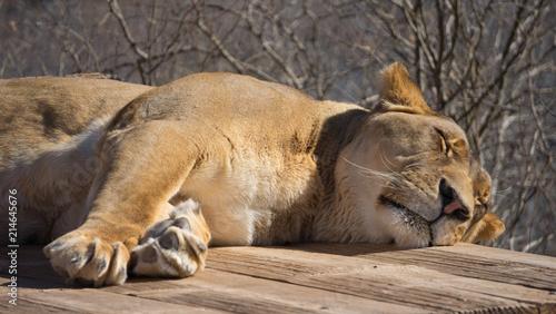 Zdjęcie XXL Lion Sleeping 2