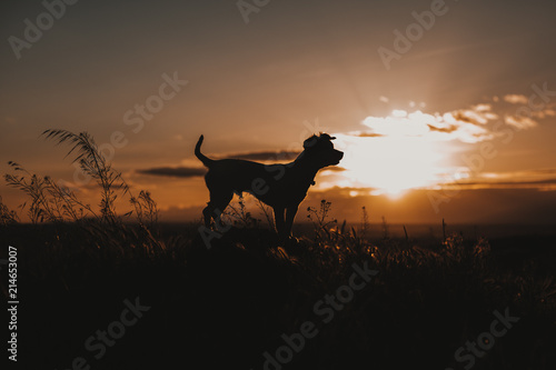 Poster Afrique du Sud silhouette of a cute small dog at sunset. Yellow or orange sky, golden hour. Pets outdoors, lifestyle