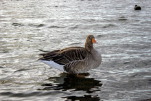 Greylag Goose Standing Is Some...