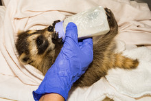 Feeding A Baby Raccoon