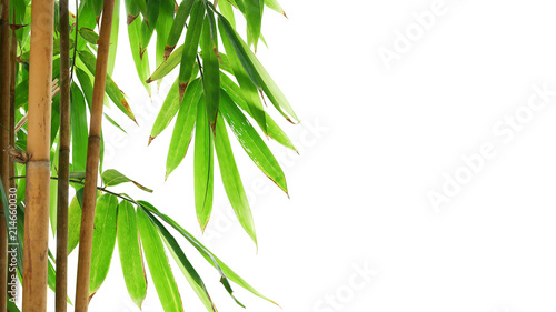 Foto op Plexiglas Bamboe Green leaves of golden bamboo ornamental forest garden plant isolated on white background, clipping path included.