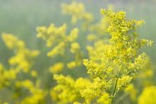Flowering Meadow, Galium Verum...