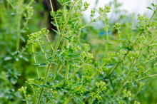 Aromatic Plant Of Oregano With Green Leaves.