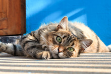 Photogenic Cat With Blue Background Looking Into The Camera
