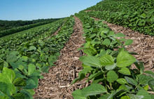 New Soybean Crop:  Rows Of Young Soybeans Grow In Southern Wisconsin Amid The Remnants Of A Corn Crop From The Previous Year.