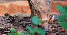 Deer-pig Babirusa In Rainforest Of Indonesia
