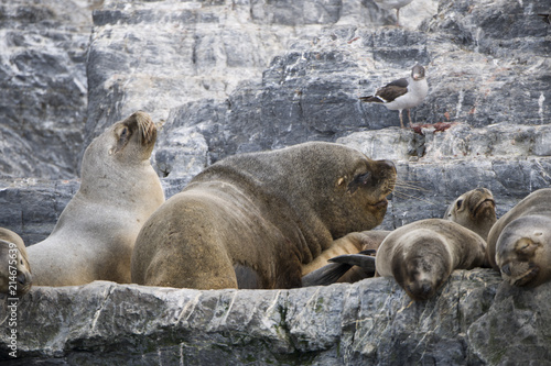 Some Antarctic seals lounging on top of each other on the rocks Poster