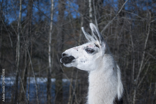 Spoed Foto op Canvas Lama Llama in Winter