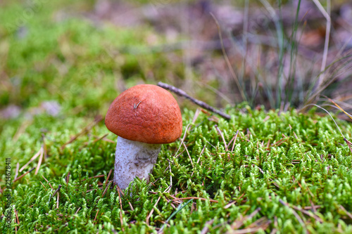 Fotografie, Obraz  The first young edible mushroom grows in moss in the forest