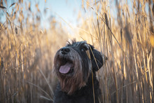 Miniature Schnauzer Zwergschnauzer Dog On A Wheat Field