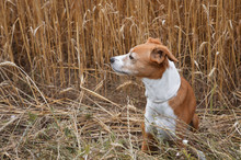 Dog In The Wheat Field