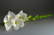 White Gladiolus On Dark Gray Background,