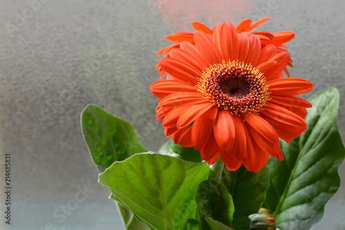 Spoed Foto op Canvas Gerbera Orange gerbera flower close up