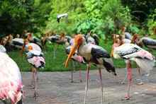 Yellow-billed Stork (Mycteria Ibis), Sometimes Also Called The Wood Stork Or Wood Ibis, Is A Large African Wading Stork Species In The Family Ciconiidae.