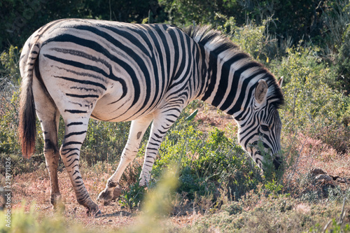 Tuinposter Zebra Zebra in Addo National Park, South Africa
